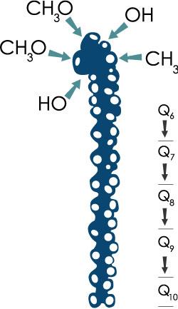 Q10 molekul, millel on kinoonipea ja 10 isoprenoidiühikut sisaldav külgahel