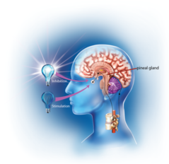 Illustration of a brain, the pineal gland and light bulbs